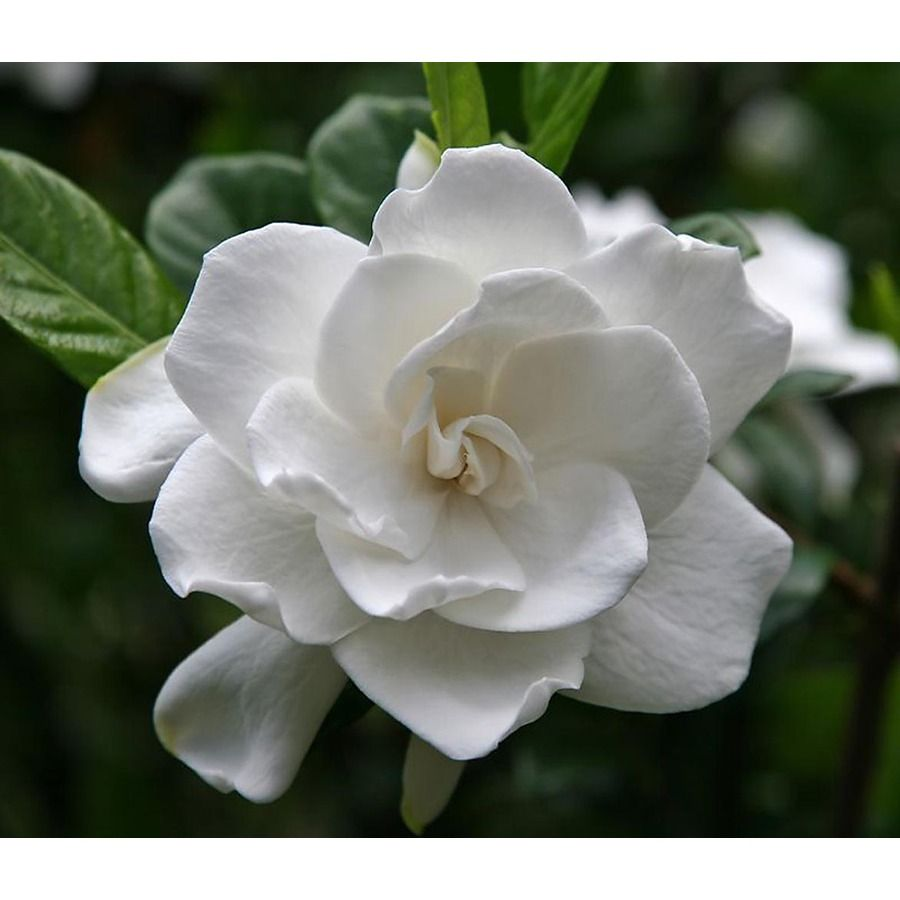 Monrovia White First Love Gardenia Flowering Shrub In Pot With