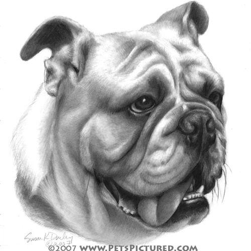 Bulldog Drawings English Bulldog Portrait Original Pencil