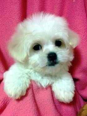 Havanese Maltese Last Girl Tiny Teacup Puppies Maltese Cute Baby Animals Maltese Puppy