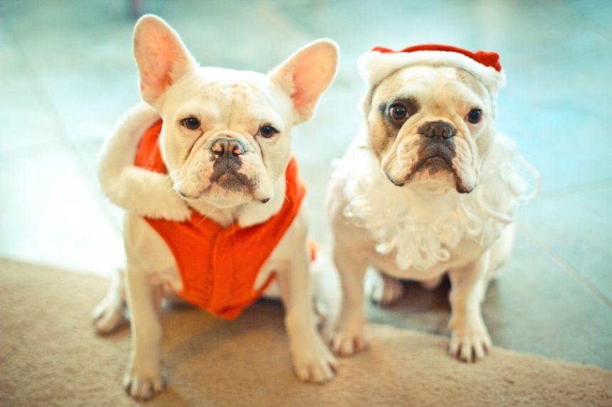 """Merry Christmas"", English and French Bulldogs, Josh Martin Photography"