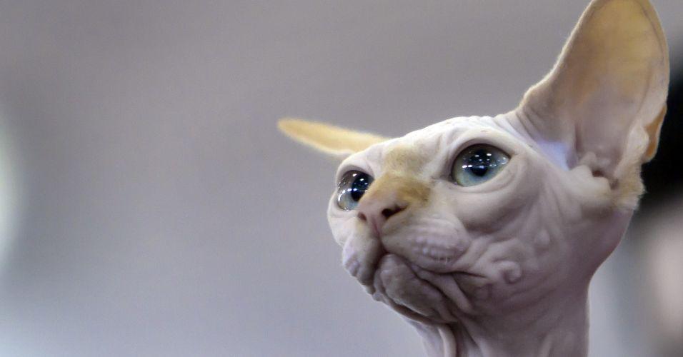 No pelage cat