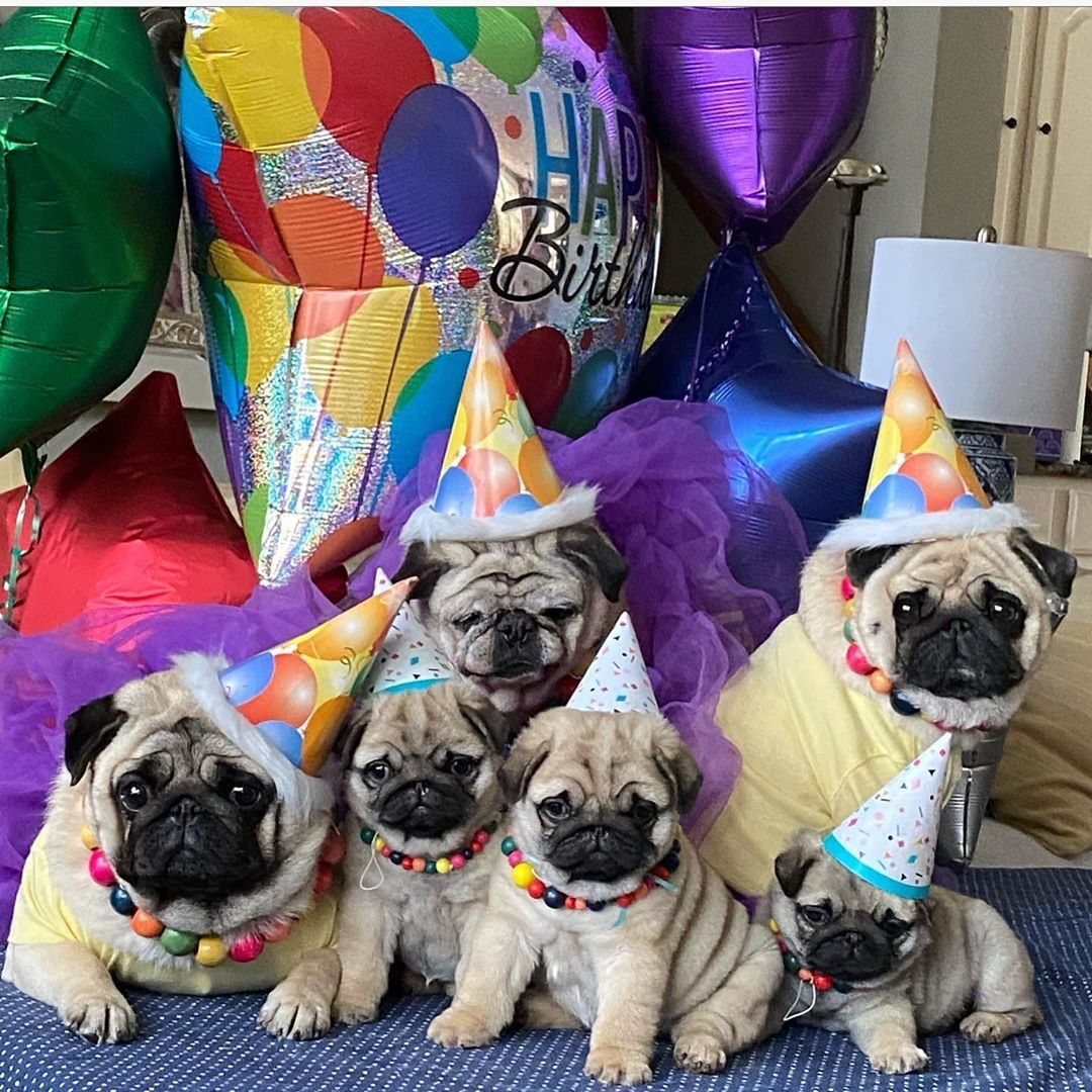 How To Get A Pug In Vlogger Go Viral