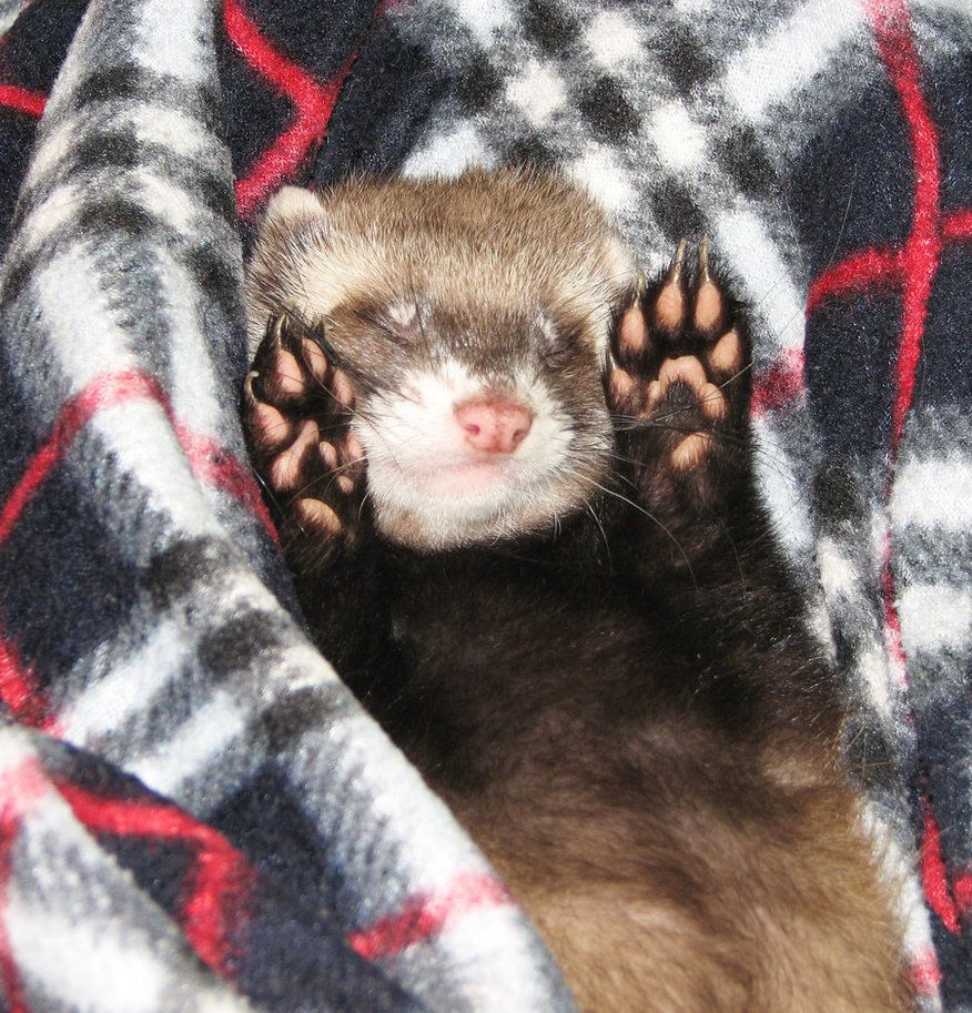Paws Up By Panda Kiddie On Deviantart Baby Ferrets Pet Ferret