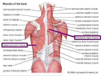 Rhomboid Muscle Pain Google Search Remedies