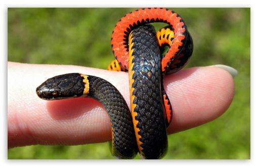 Download Small Snake HD Wallpaper Pet snake, Beautiful