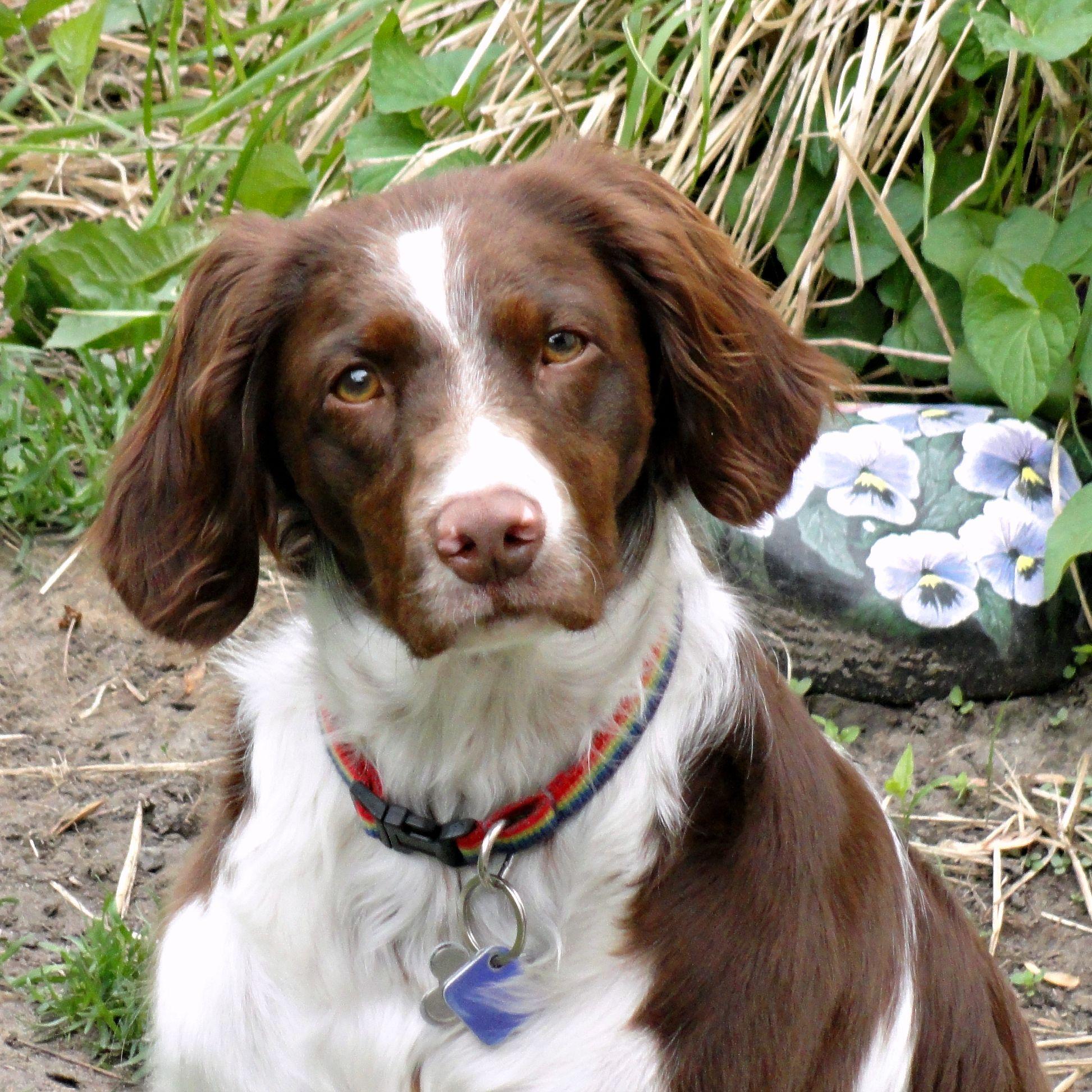 Brittany Dog-Nikki