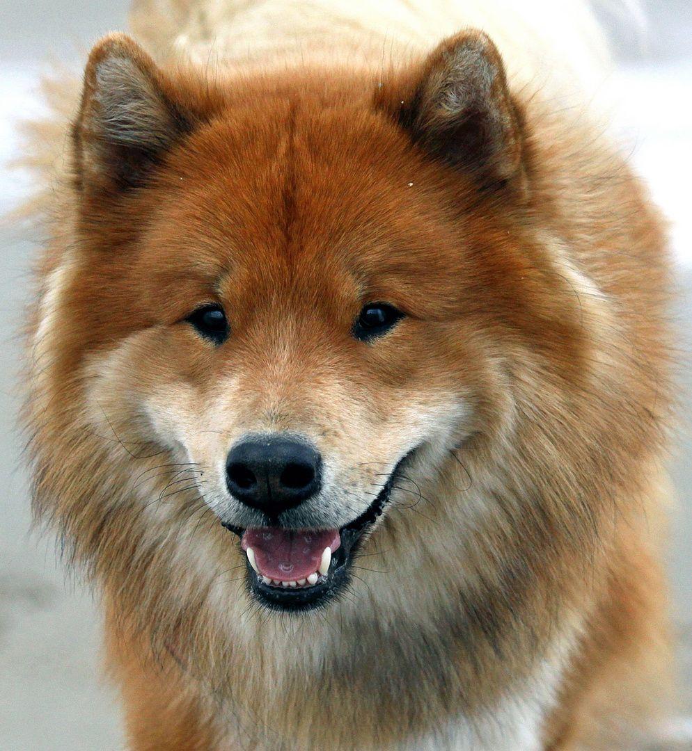 *mein lächelnder hund* Hund lächelnd, Eurasier hund, Hunde