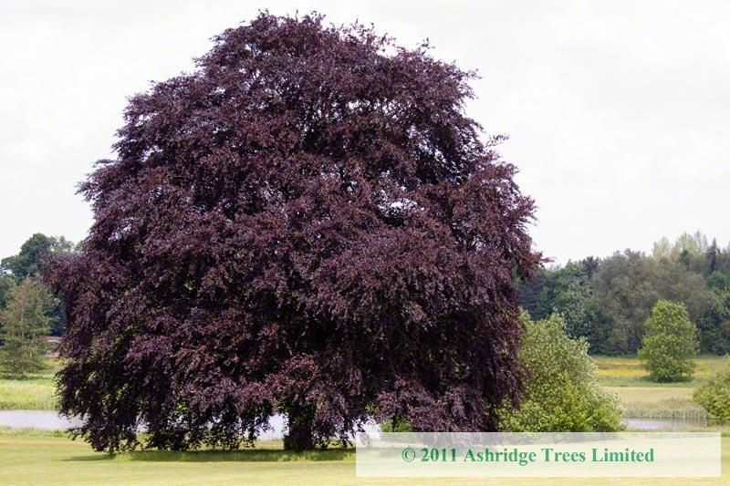 Copper Beech Trees Purple For Large Standards