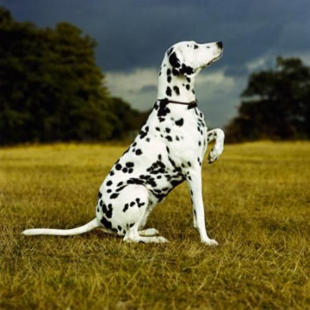 A White Dog With Black Spots Animals Pets Images Photos