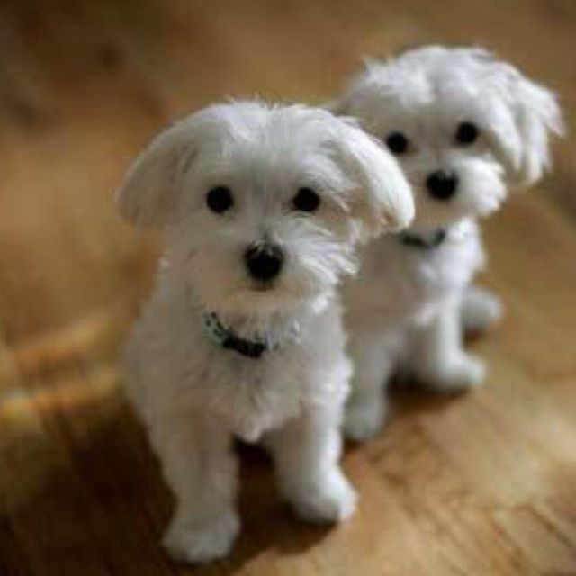 Maltese Pups Very Cute Puppies Cute Dog Pictures Maltese Dogs