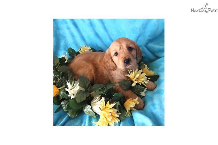 Golden Retriever Puppy For Sale Near Charlottesville Virginia