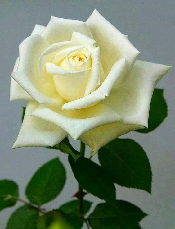 60 Different Colors Of Roses Enjoy Lovely Rose Flowers Collection Rose Flower White Roses Beautiful Roses