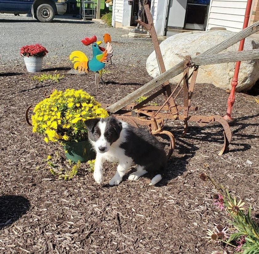 Border Collie Puppies For Sale Berwick, PA Collie