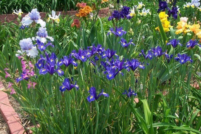 Photo Of Dutch Iris Iris X Hollandica Blue Magic Late Spring Blue Magic Dutch Iris Iris
