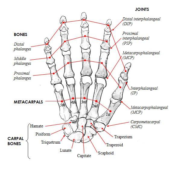 Skull Bones Anatomy Quiz Google Search The Human Body For Kids
