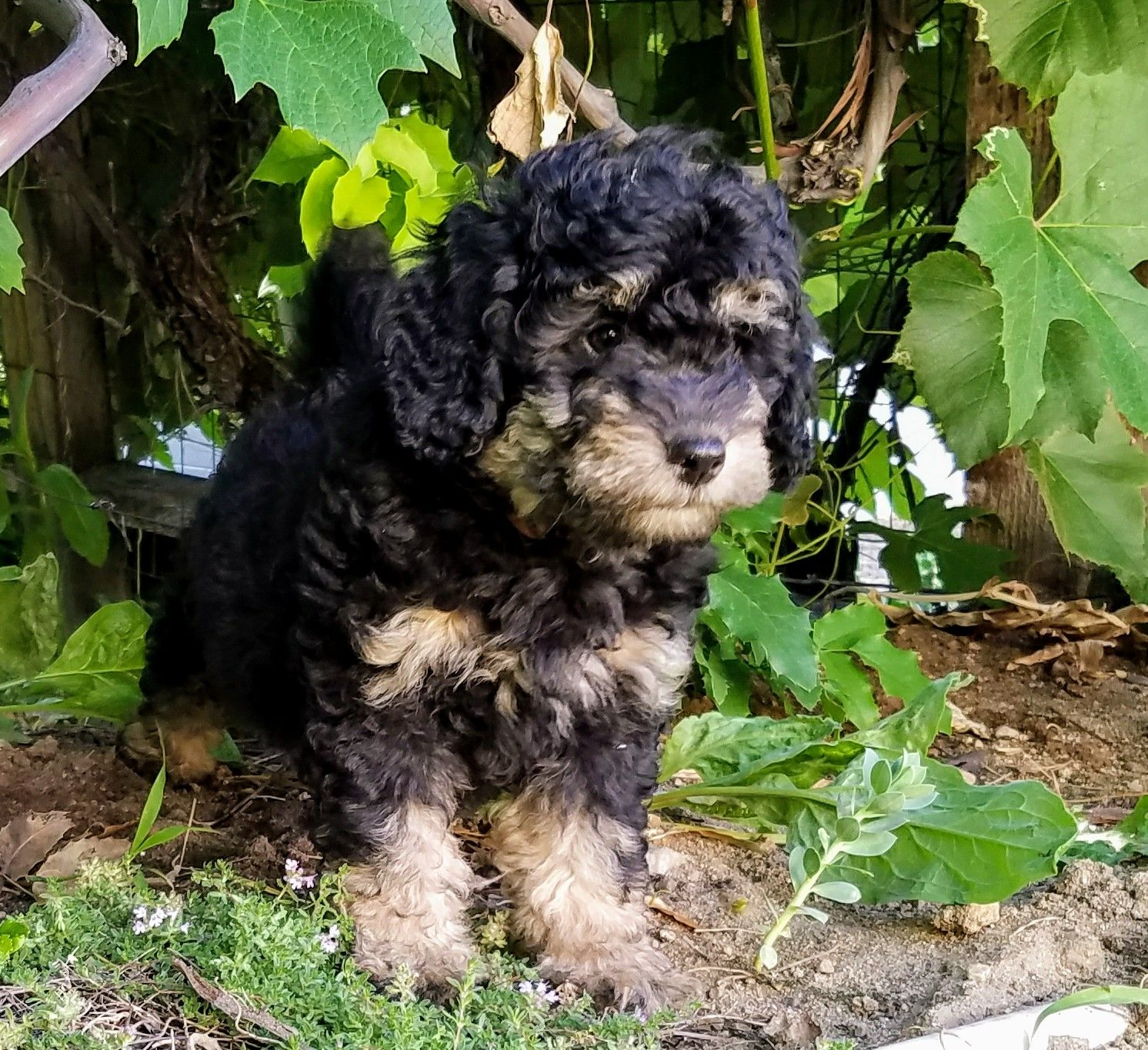 Micro mini F1b Bernedoodle puppies Bernedoodle puppy