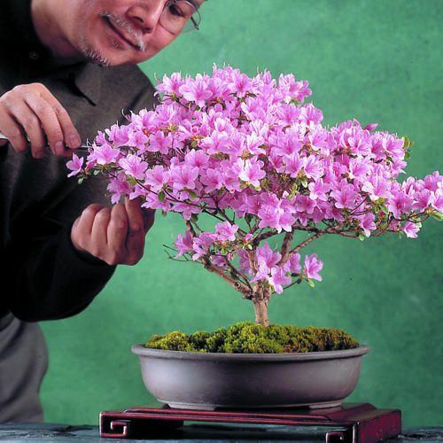An Easy Azalea Bonsai Bonsai Azalea Bonsai Diy Bonsai Flower
