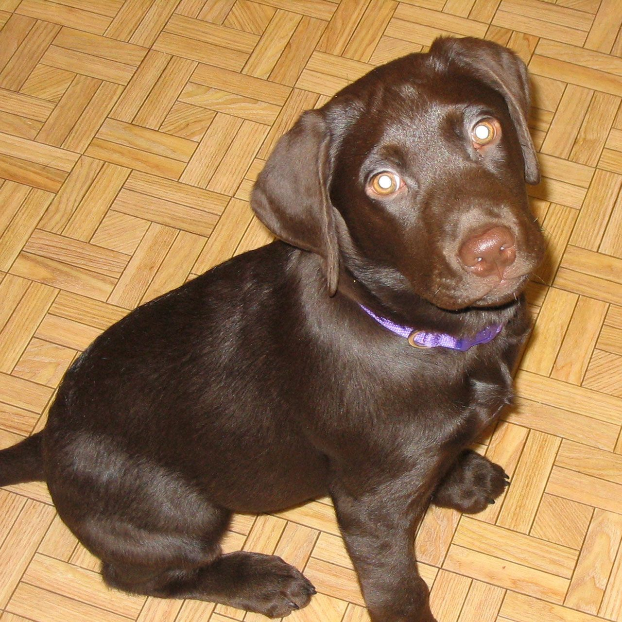 tiny chocolate brown labrador puppy | Pets | Pinterest | Brown ...