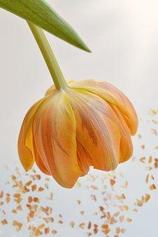 Kukka, Tulppaani, Oranssi