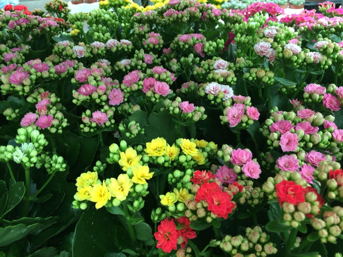 Plantas ornamentales kalanchoe flor tacoronte vivero for 2 plantas ornamentales