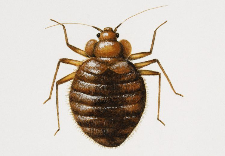 How To Get Rid Of Bed Bugs And What Do They Look Like Bed Bugs