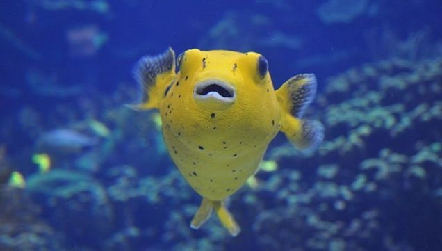 The First Western Fatalities Due to Puffer Fish Poisoning Were Pigs ...