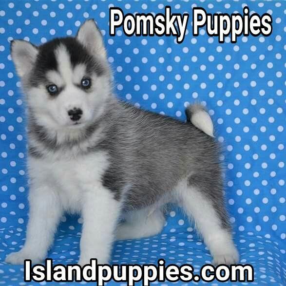 Pomsky Puppies For Sale Www Islandpuppies Com 631 624 5580