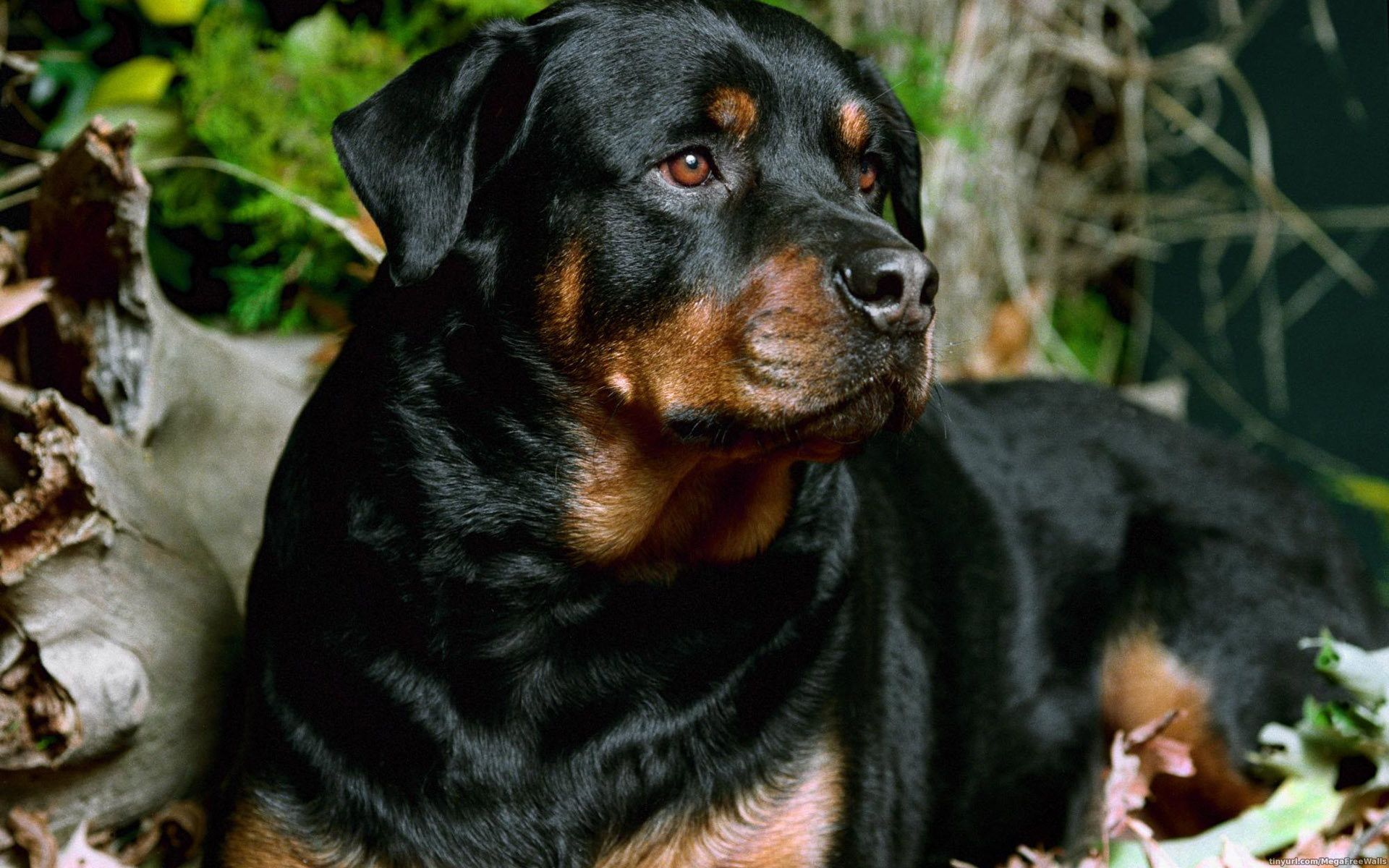 1920x1200 Rottweiler Wallpaper Background Image View Download
