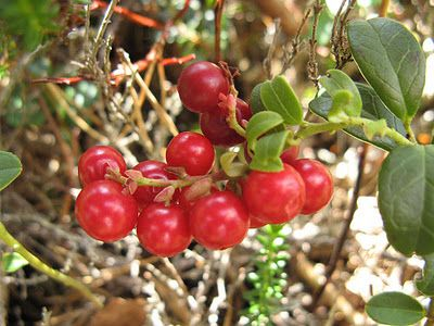 lignonberries