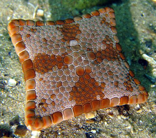 Square starfish