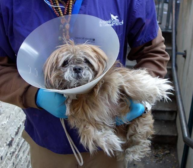 Adopt Mason on Lhasa apso, Small dog breeds, Pets