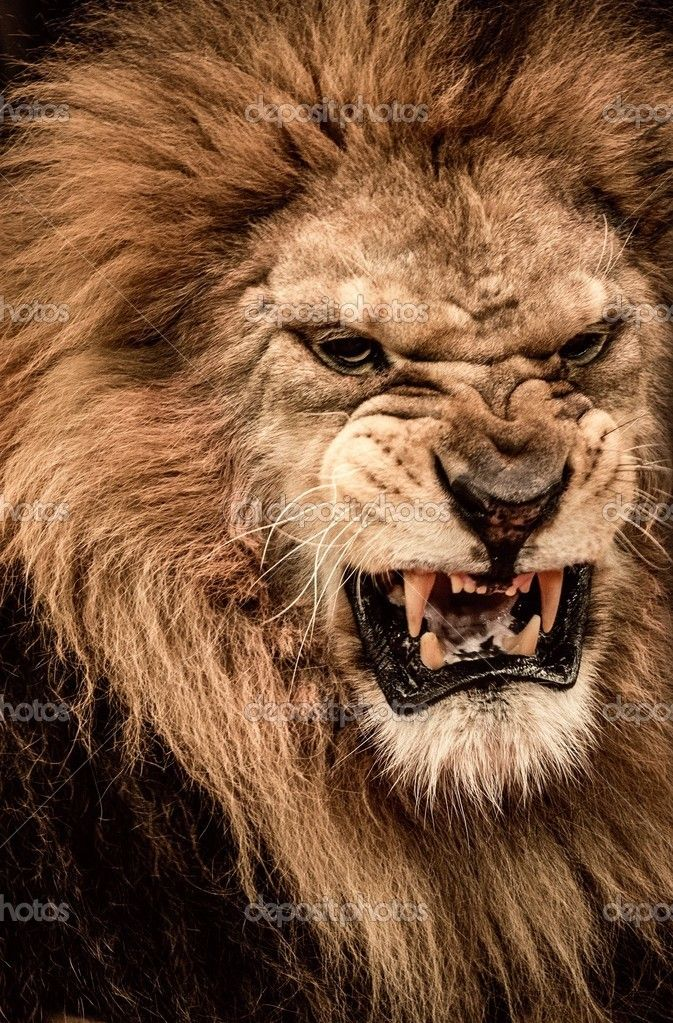 he is angry | Lion | Pinterest | Lions, Cat and Animal