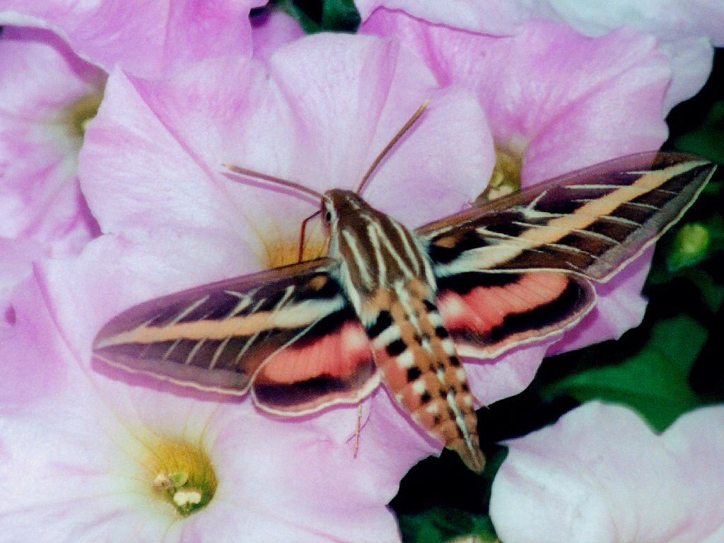 Pin by becca anne boyles on butterflies moths insects the soft pastel colors of the white lined sphinx moth give it an aura of spiritual wonder in flight it resembles a hummingbird and it hovers over a flower buycottarizona