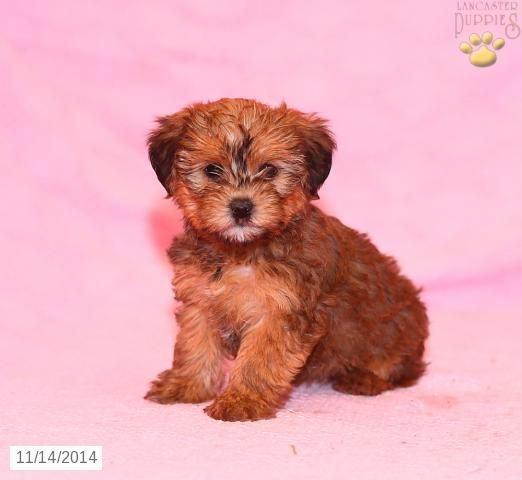 Morkie Puppy for Sale in Pennsylvania (With images