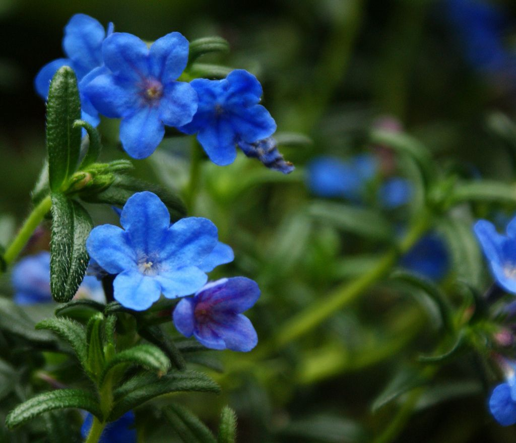 Lithodora diffusa grace ward ground covering plants and gardens low creeping ground cover with bright blue flowers izmirmasajfo Images