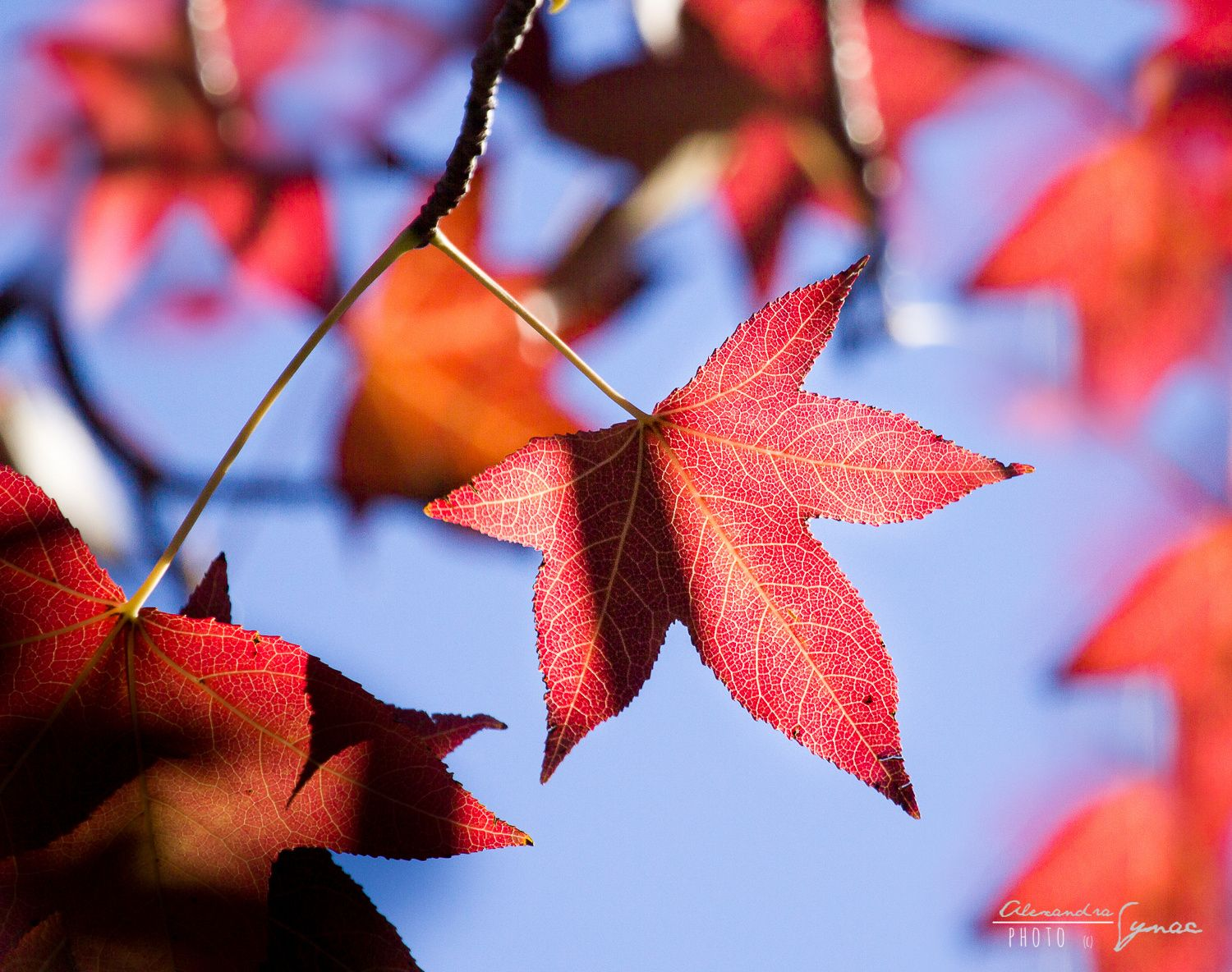 Red leaves by ArdnaxelaS on 500px