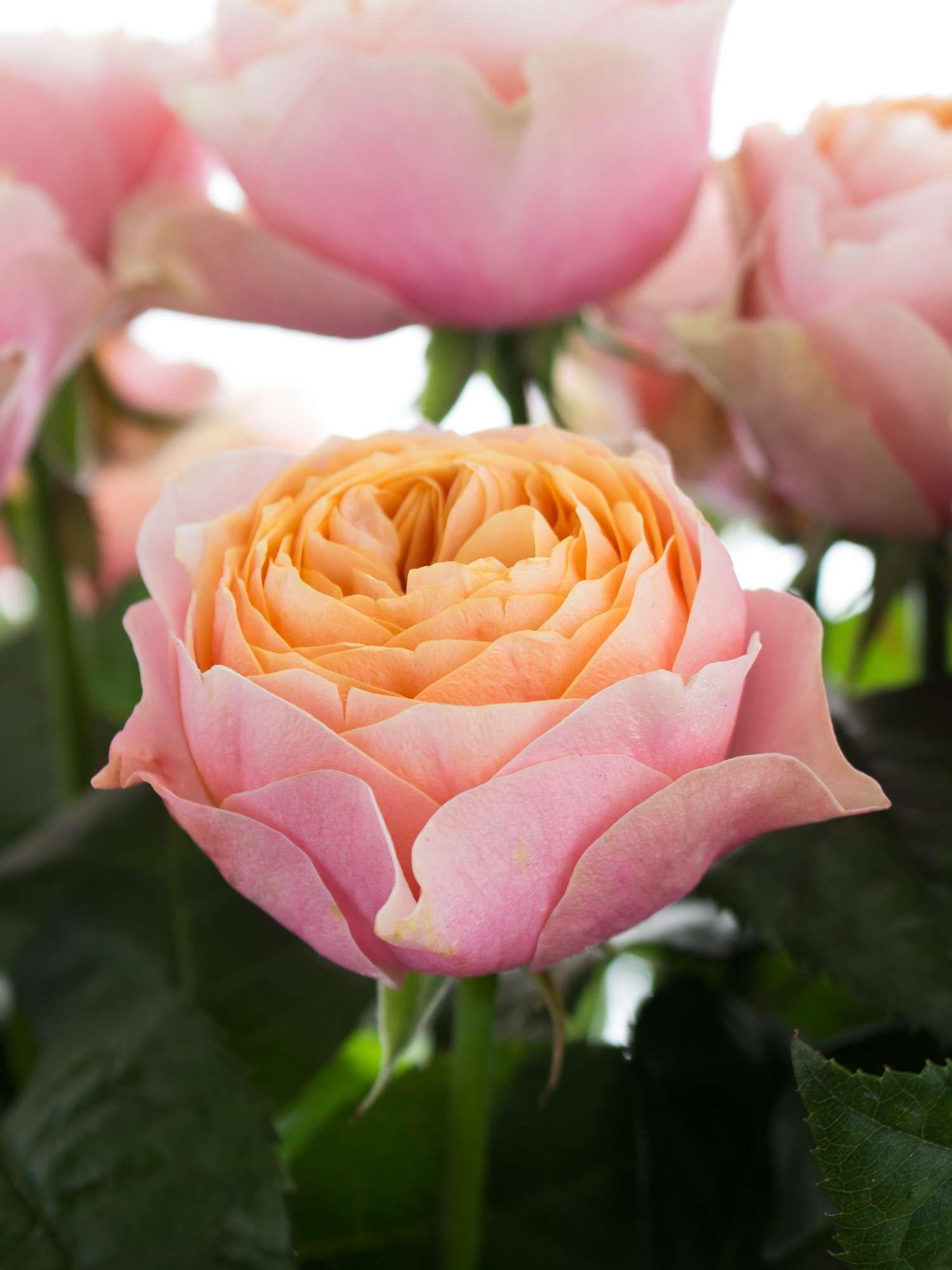 rosen vuvuzela rosa apricot aprikose hochzeit rosen. Black Bedroom Furniture Sets. Home Design Ideas