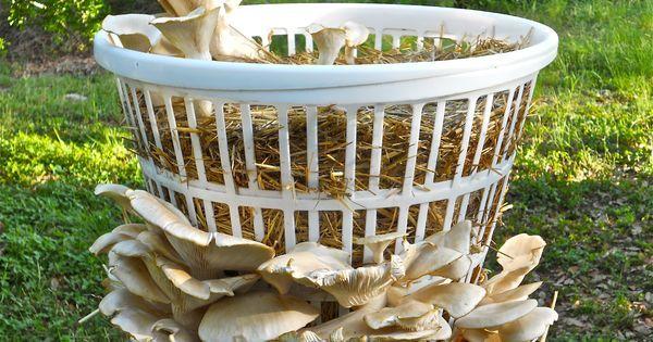Indoor Mushroom Garden Laundry basket filled with straw growing large elm oyster mushrooms laundry basket filled with straw growing large elm oyster mushrooms workwithnaturefo