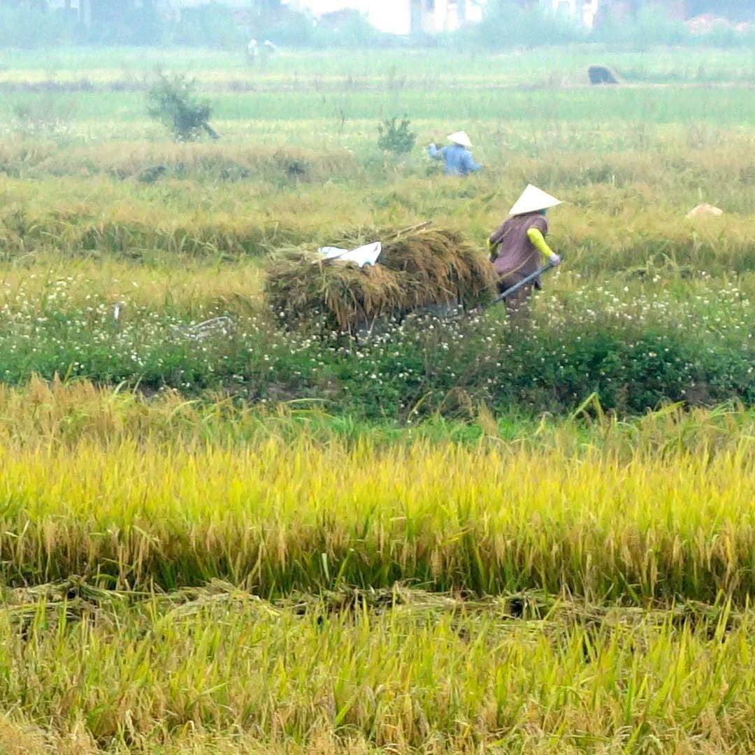 It's the time of year when rice is harvested in many parts of Southeast Asia. This scene is from Ninh Binh Vietnam.  #vietnam #viet #vietnamese #ninhbinh #redriver #rice #ricefield #asia #seasia #asian #countryside #worldcaptures #ttot #traveling #journeys #instatravel #travelgram #ig_vietnam #farmland