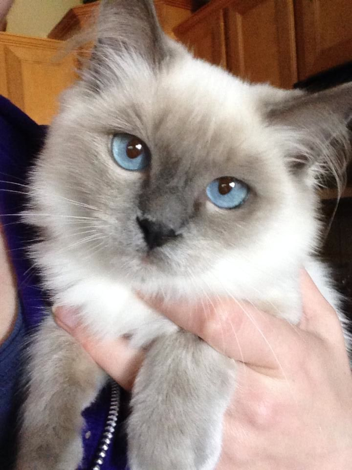 Gracie - such a pretty girl. Blue Point Mitted Ragdoll kitten
