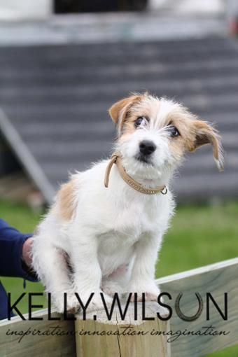 Alvin Jack Russell Shitzu Maltese The Cutest Sweetest Natured