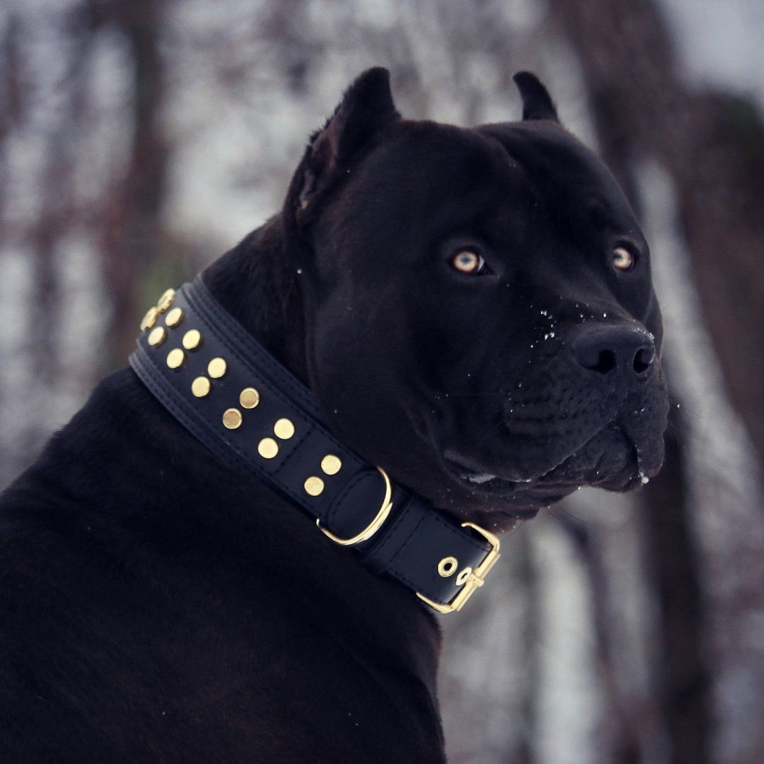 All Black Pitbull With Yellow Eyes - Exploring Mars