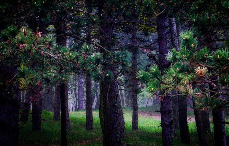 Een stukje naaldbos bij De Zilk