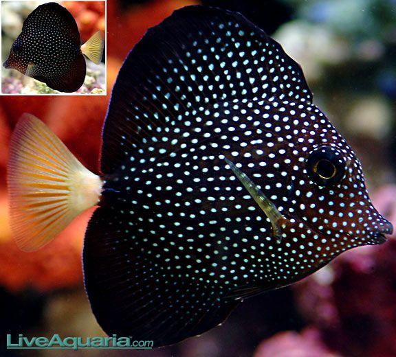 Gem Tang Fish Forum Salt Water Fish Sea Fish Tang Fish