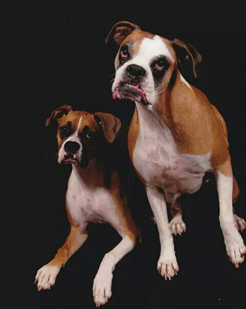 Boxer photo shoot. Gracie & Gretchen.