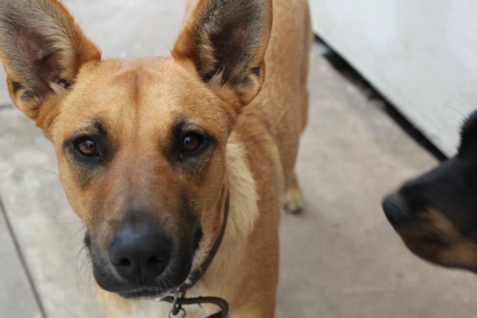 Indie - german shepherd cross red cattle dog cross kelpie ...