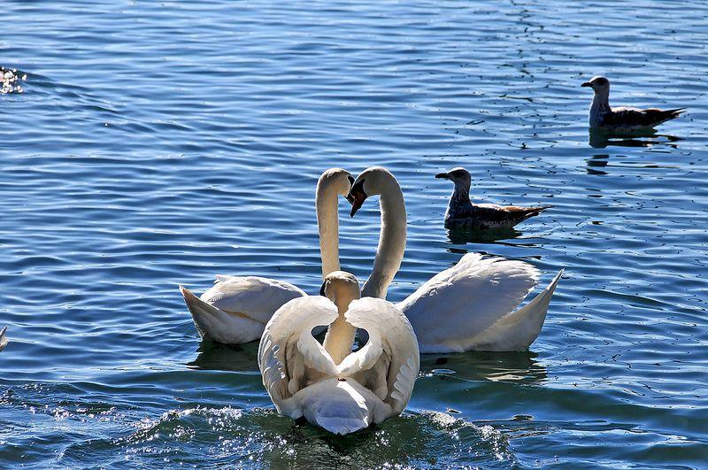 Trio de cygnes  Swan hearts