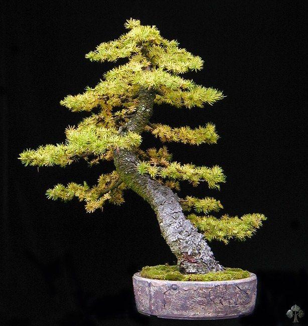 Larix lariks bonsai boom