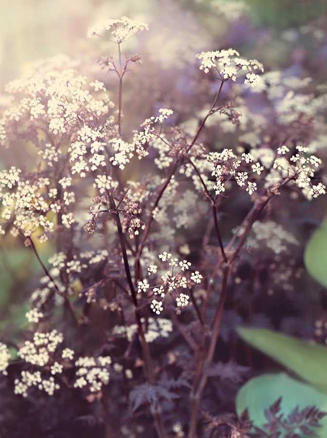Black-leaf-cow-parsley-Ravenswing - Anthriscus Sylvestris.jpg