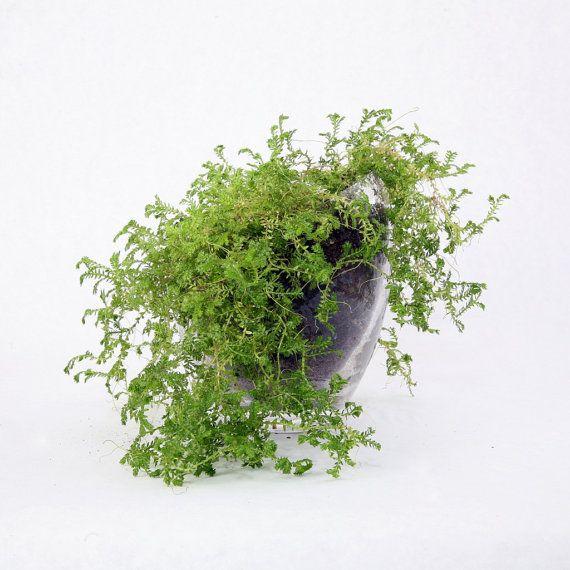Terrarium Irish Moss Selaginella Terrarium Kit By Tallpoppygardens